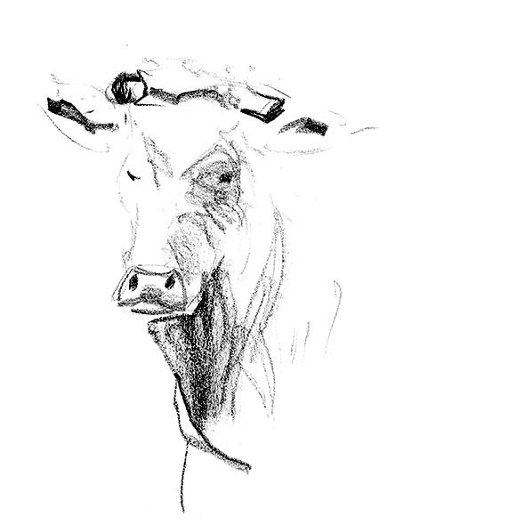 vache face